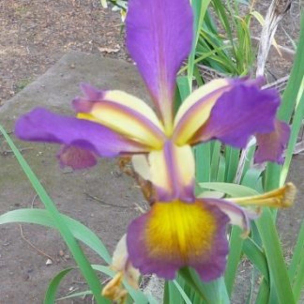 Spuria Purple 2A P1050459 (2)A