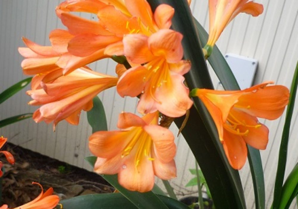 Clivia Orange