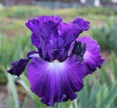 Tall breaded iris in blue
