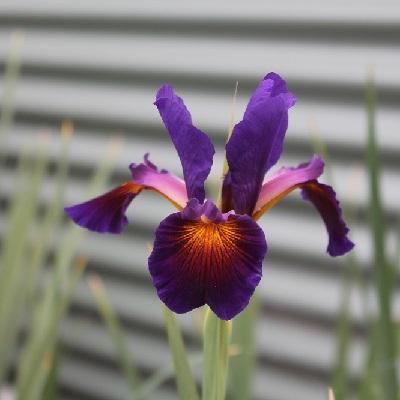 Dark Purple Orange blaze